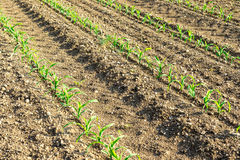 Rows of small corn plants from organic farming in Italy Royalty Free Stock Photo