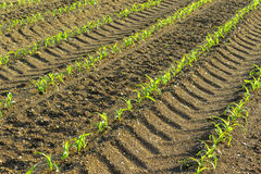 Rows of small corn plants from organic farming in Italy. With footprints wheels of the tractor Stock Images