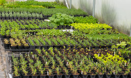 Rows of small plants inside a polytunnel Royalty Free Stock Photo