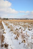 Rows of a Snow covered corn field on a sunny winter day Royalty Free Stock Images