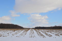 Rows of a Snow covered corn field on a sunny winter day Royalty Free Stock Photo