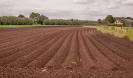 Rows of soil with recently planted potatoes Stock Photography