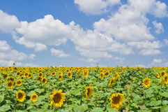 Rows of soldiers of sunflower revolution Royalty Free Stock Photos