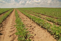Rows of soy. Royalty Free Stock Photo
