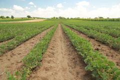 Rows of soy. Rows of soy in sunshine Royalty Free Stock Image