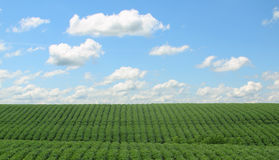 Rows of Soybeans. Rows of green soybeans against a blue sky with clouds Royalty Free Stock Photos