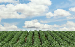 Rows of Soybeans Stock Photos