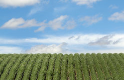 Rows of Soybeans Royalty Free Stock Photo