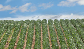 Rows of Soybeans Royalty Free Stock Photography