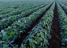 Rows and rows of soybeans royalty free stock photos