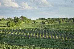 Rows of soybeans in a field with trees late afternoon Royalty Free Stock Images