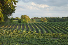 Rows of soybeans in a field with trees late afternoon Royalty Free Stock Photography