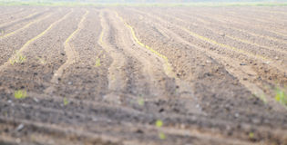 Rows of sprouting grain Royalty Free Stock Image