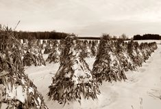 Rows of stooked corn stalks aged in sepia colors royalty free stock image