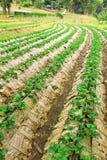 Rows of strawberry farm Stock Photo