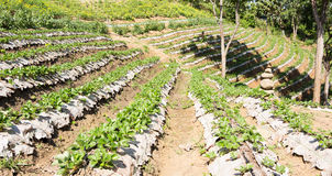 Rows of strawberry farm Royalty Free Stock Photo