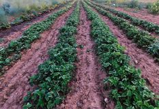 Rows of strawberry plants in an Amish garden stock photos