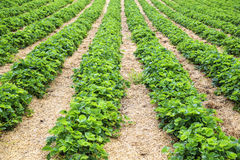Rows strawberry plants on a farm Stock Image