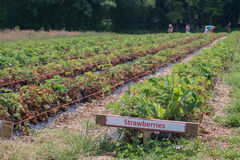 Rows of Strawberry Plants. In a field Royalty Free Stock Image