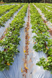 Rows of strawberry Stock Photography