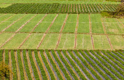 Rows of strawberry Royalty Free Stock Photo