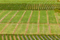 Rows of strawberry Stock Images