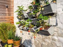 Rows of strawberry plants in a vertical garden hanging on a wall royalty free stock image