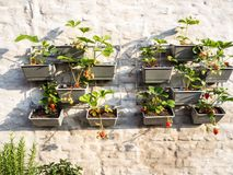 Rows of strawberry plants in a vertical garden hanging on a wall stock image