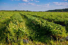 Rows of Strawberry plants in a strawberry field Royalty Free Stock Images