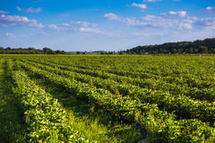 Rows of Strawberry plants in a strawberry field Royalty Free Stock Photography