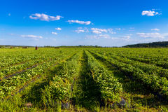 Rows of Strawberry plants in a strawberry field Stock Photos