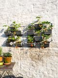 Rows of strawberry plants in a vertical garden hanging on a wall stock photos