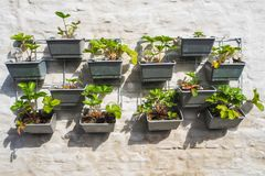 Rows of strawberry plants in a vertical garden hanging on a wall royalty free stock photo