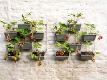 Rows of strawberry plants in a vertical garden hanging on a wall stock images
