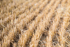 Rows of stubble harvested field Royalty Free Stock Photos
