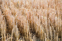 Rows of stubble harvested wheat field Stock Photo