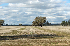 Rows of stubble in winter field Royalty Free Stock Photography