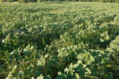 Sugar beet in a field. Rural scene. Crop and farming. Rows of sugar beet in field. Rural scene. Crop and farming Royalty Free Stock Photography
