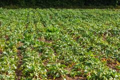 Sugar beet in a field. Rural scene. Crop and farming. Rows of sugar beet in field. Rural scene. Crop and farming Stock Photos