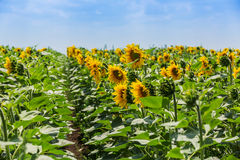 Rows of sun flowers Stock Photography