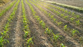 Rows of sunlit young corn plants on a field Royalty Free Stock Photo