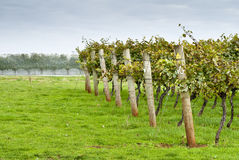 Rows of supported and trained vines Royalty Free Stock Image