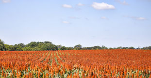 Rows of Sweet Sorghum, used for food and biofuels. Sorghum plants all panted in a row Royalty Free Stock Photo