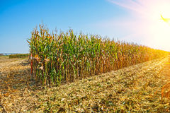 Rows of tall corn on field sunrise at harvest royalty free stock photography