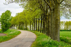Rows of tall trees with budding young leaves in a rural landscape. With a winding country road. It is springtime now stock photos