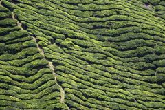 Rows of Tea Royalty Free Stock Photo