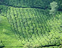 Rows of tea bushes at high altitude tea plantation Stock Photos