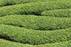 Rows of tea tree Royalty Free Stock Photography