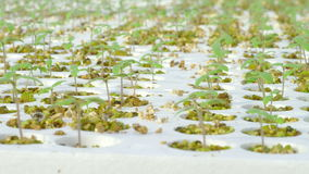 Rows of tomato hydroponic plants stock video footage