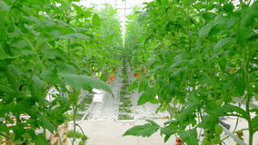Rows of tomato hydroponic plants stock video